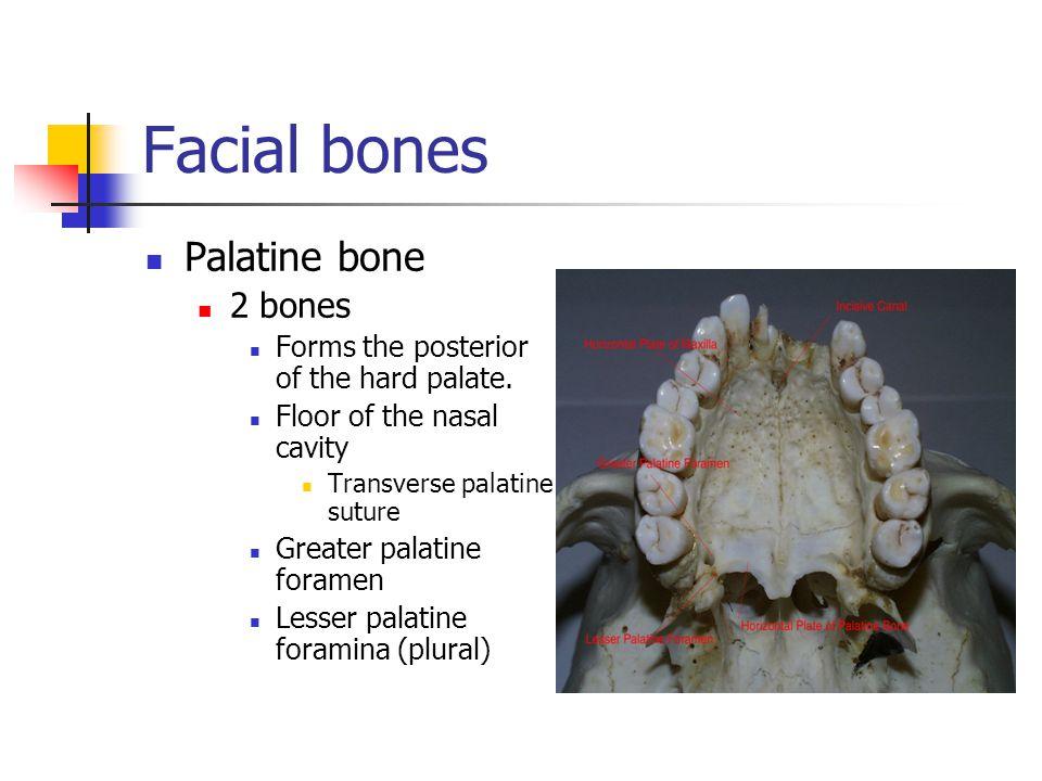 Facial bones Palatine bone 2 bones Forms the posterior of the hard palate. Floor of the nasal cavity Transverse palatine suture Greater palatine foram