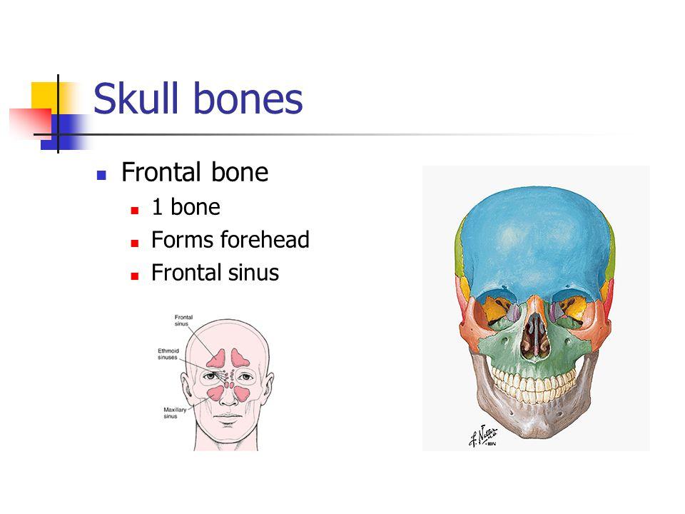 Skull bones Frontal bone 1 bone Forms forehead Frontal sinus