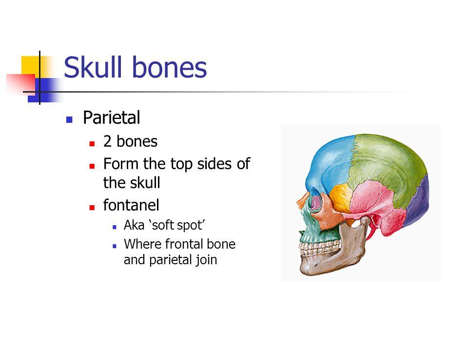 Skull bones Occipital bone 1 bone Forms the back and posterior base of the skull.