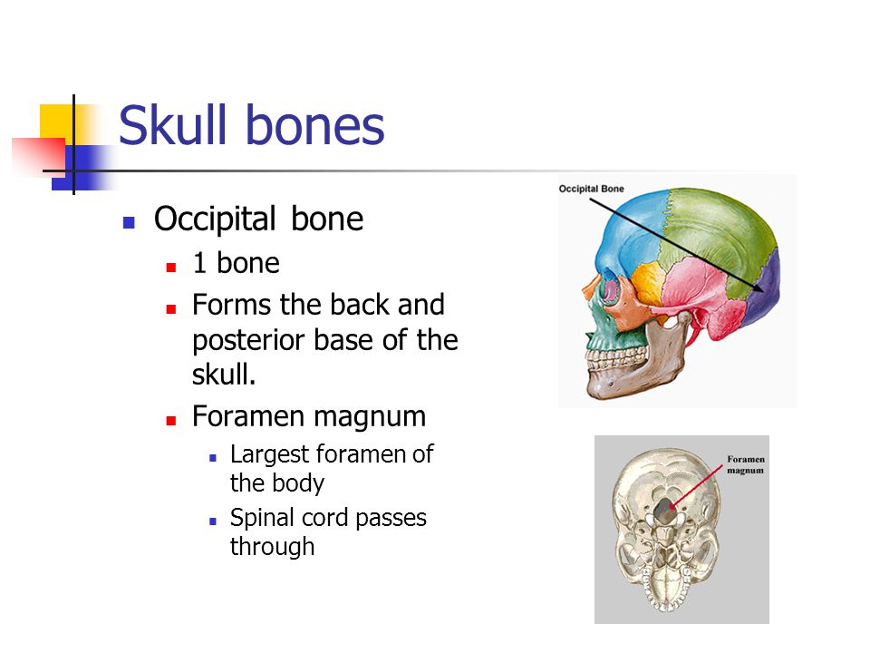 Skull bones Occipital bone 1 bone Forms the back and posterior base of the skull. Foramen magnum Largest foramen of the body Spinal cord passes throug