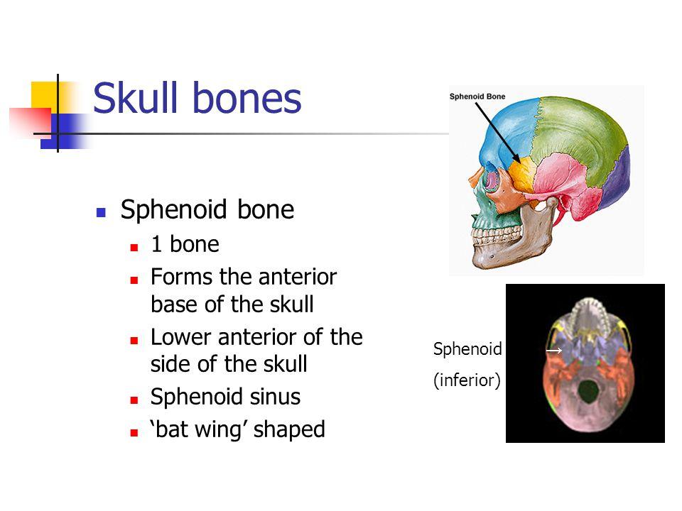 Skull bones Sphenoid bone 1 bone Forms the anterior base of the skull Lower anterior of the side of the skull Sphenoid sinus 'bat wing' shaped Sphenoi
