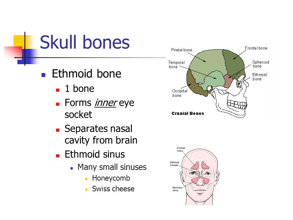 Skull bones Ethmoid bone 1 bone Forms inner eye socket Separates nasal cavity from brain Ethmoid sinus Many small sinuses Honeycomb Swiss cheese
