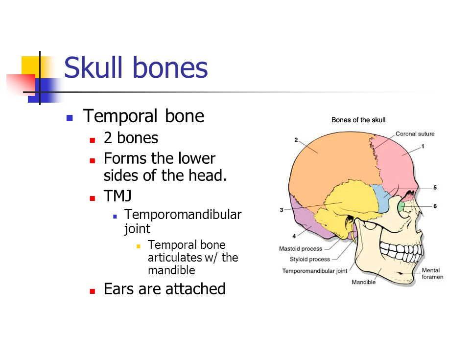Temporal bone 2 bones Forms the lower sides of the head. TMJ Temporomandibular joint Temporal bone articulates w/ the mandible Ears are attached