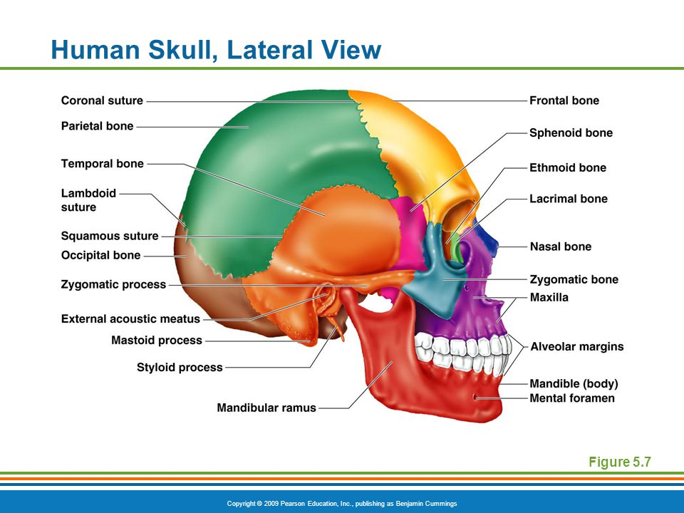 Copyright © 2009 Pearson Education, Inc., publishing as Benjamin Cummings Human Skull, Lateral View Figure 5.7