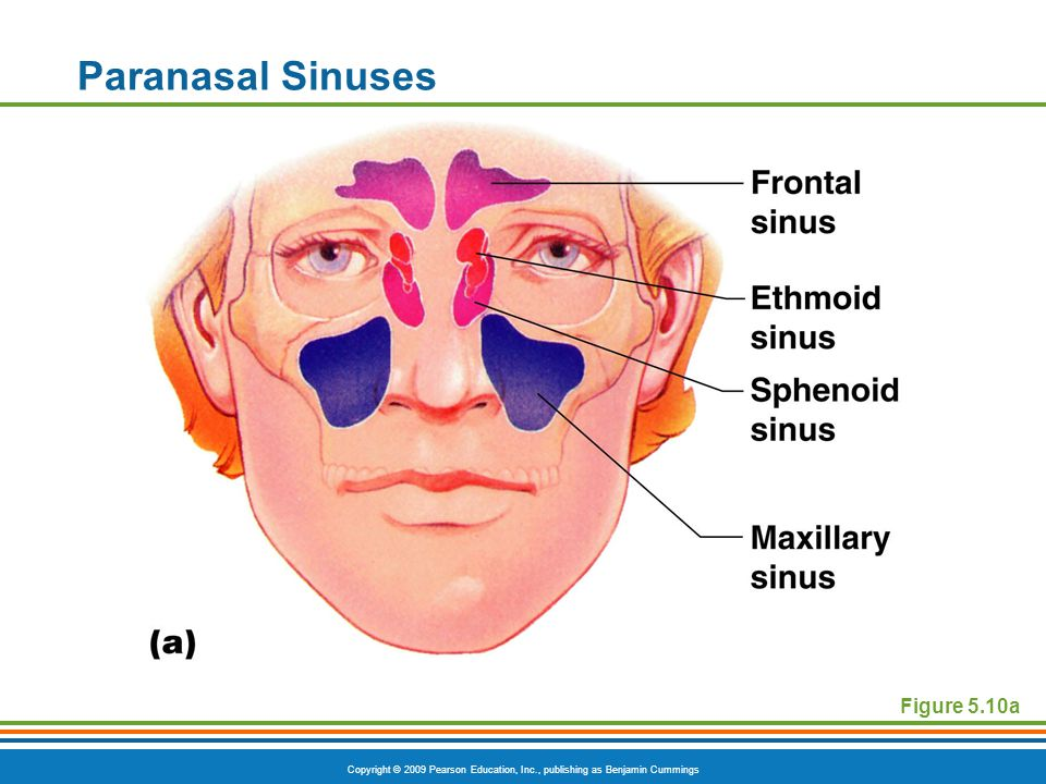 Copyright © 2009 Pearson Education, Inc., publishing as Benjamin Cummings Paranasal Sinuses Figure 5.10a
