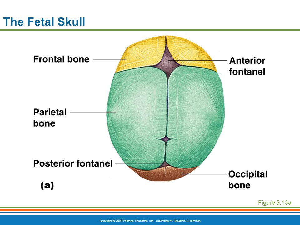 Copyright © 2009 Pearson Education, Inc., publishing as Benjamin Cummings The Fetal Skull Figure 5.13a