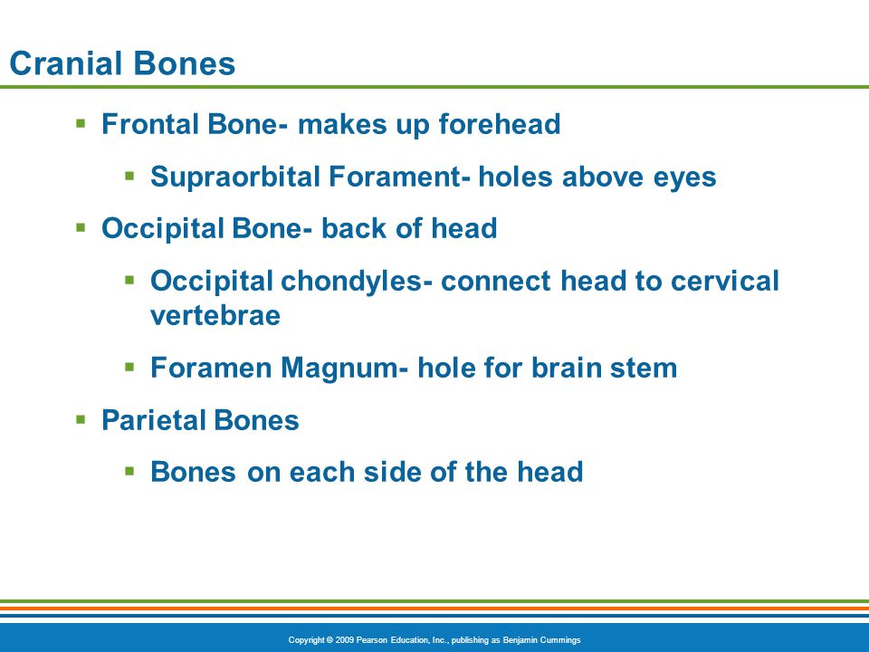 Copyright © 2009 Pearson Education, Inc., publishing as Benjamin Cummings Cranial Bones  Frontal Bone- makes up forehead  Supraorbital Forament- hol