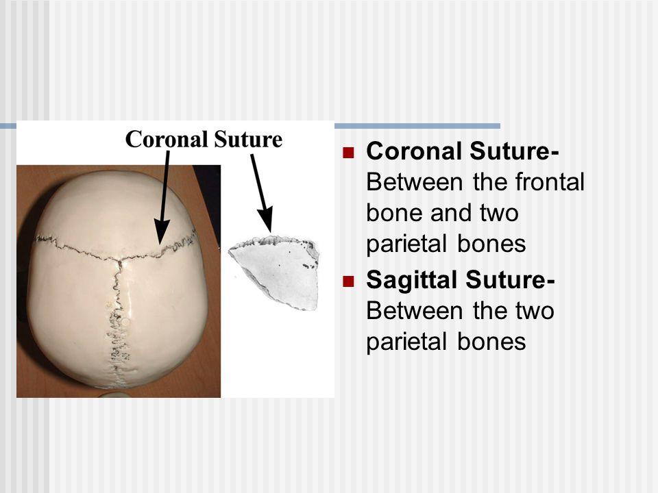 Coronal Suture- Between the frontal bone and two parietal bones Sagittal Suture- Between the two parietal bones