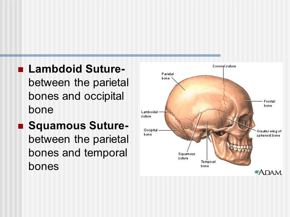 Lambdoid Suture- between the parietal bones and occipital bone Squamous Suture- between the parietal bones and temporal bones