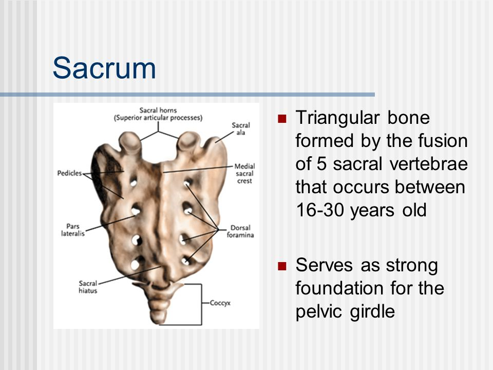 Sacrum Triangular bone formed by the fusion of 5 sacral vertebrae that occurs between 16-30 years old Serves as strong foundation for the pelvic girdl