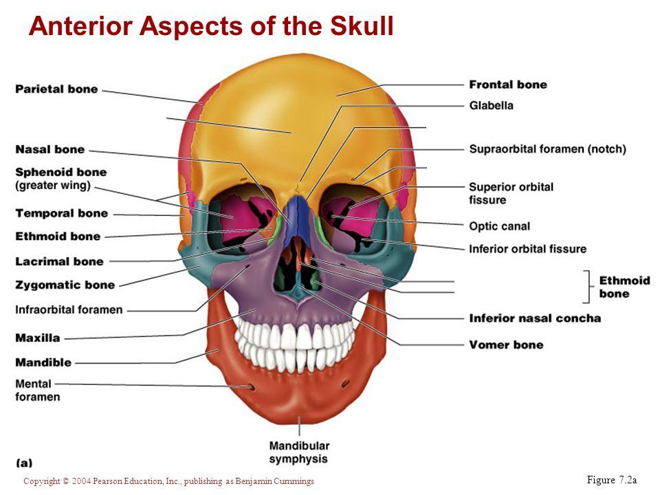 Copyright © 2004 Pearson Education, Inc., publishing as Benjamin Cummings Ethmoid Bone Figure 7.7