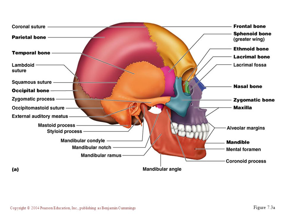 Copyright © 2004 Pearson Education, Inc., publishing as Benjamin Cummings Inferior Portion of the Skull Figure 7.4a