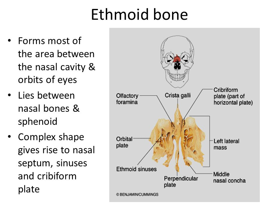 Ethmoid bone Forms most of the area between the nasal cavity & orbits of eyes Lies between nasal bones & sphenoid Complex shape gives rise to nasal septum, sinuses and cribiform plate
