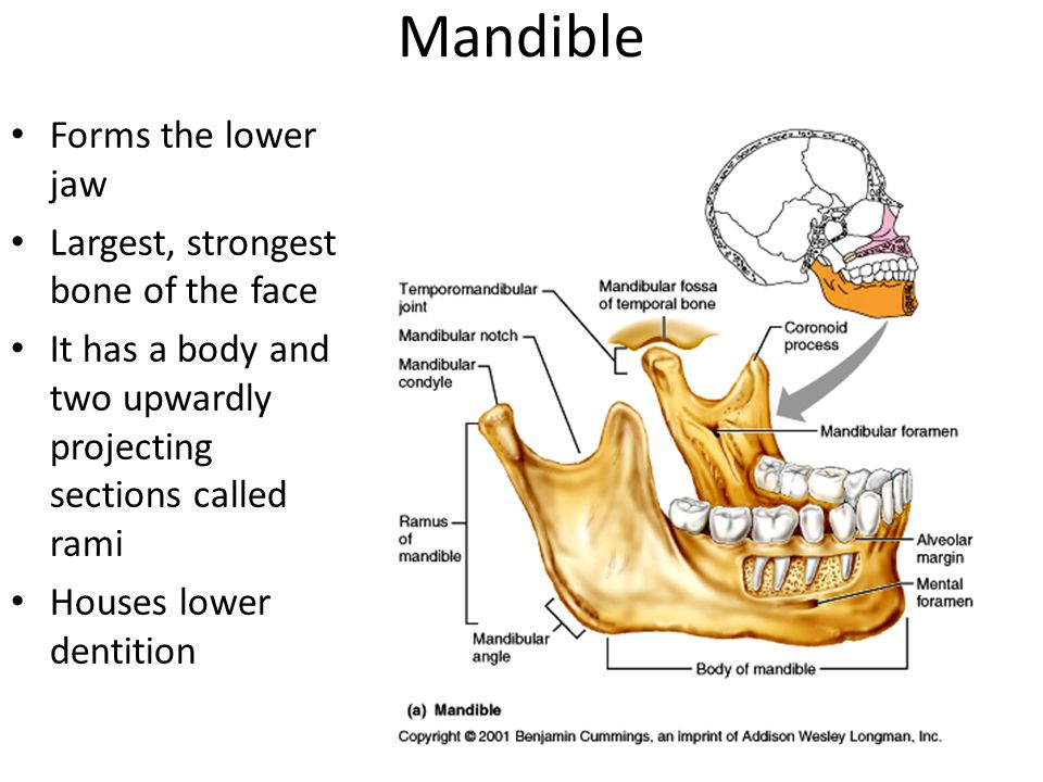 Mandible Forms the lower jaw Largest, strongest bone of the face It has a body and two upwardly projecting sections called rami Houses lower dentition