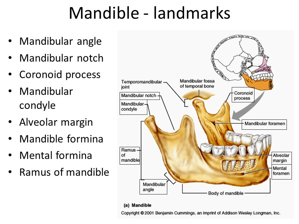 Mandible - landmarks Mandibular angle Mandibular notch Coronoid process Mandibular condyle Alveolar margin Mandible formina Mental formina Ramus of mandible