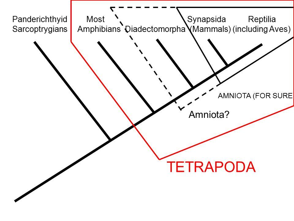 Panderichthyid Most Synapsida Reptilia Sarcoptrygians Amphibians Diadectomorpha (Mammals) (including Aves) AMNIOTA (FOR SURE) Amniota.