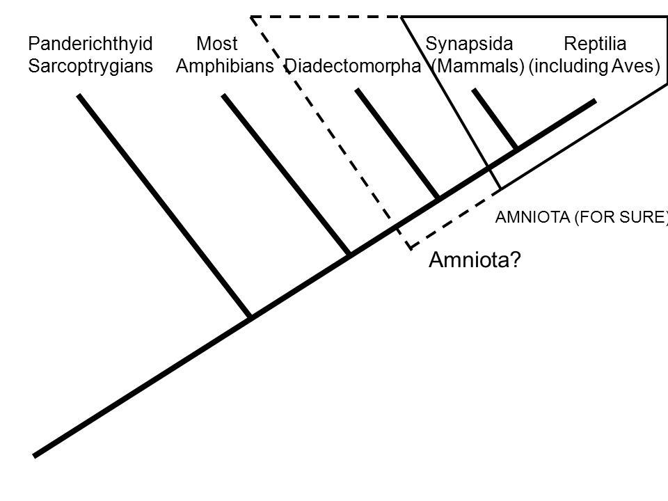 Panderichthyid Most Synapsida Reptilia Sarcoptrygians Amphibians Diadectomorpha (Mammals) (including Aves) AMNIOTA (FOR SURE) Amniota