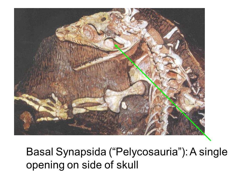 Basal Synapsida ( Pelycosauria ): A single opening on side of skull