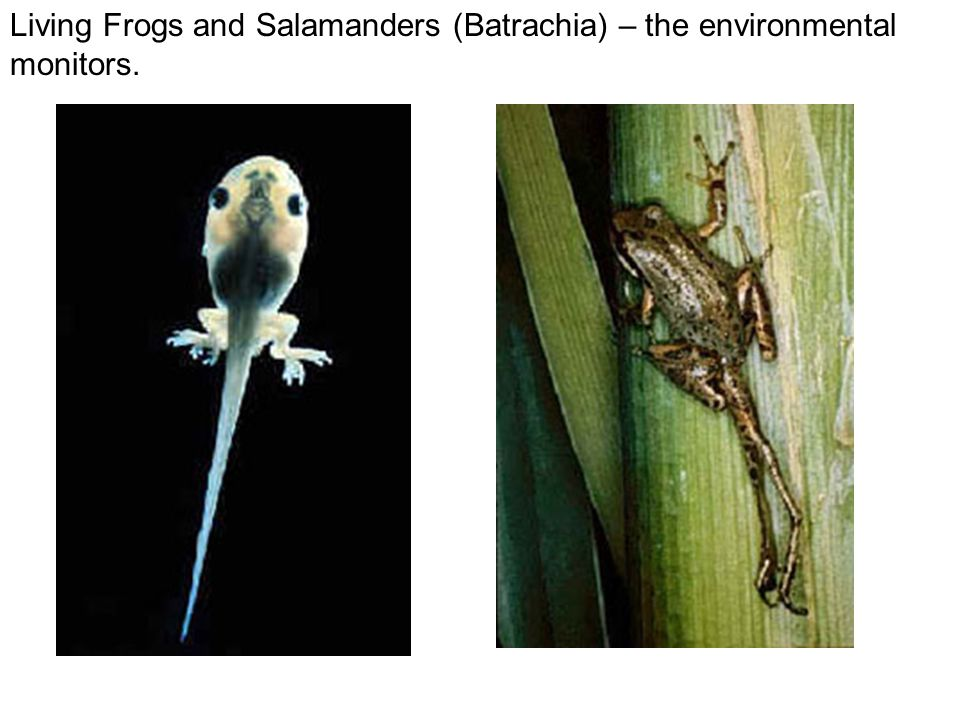 Living Frogs and Salamanders (Batrachia) – the environmental monitors.