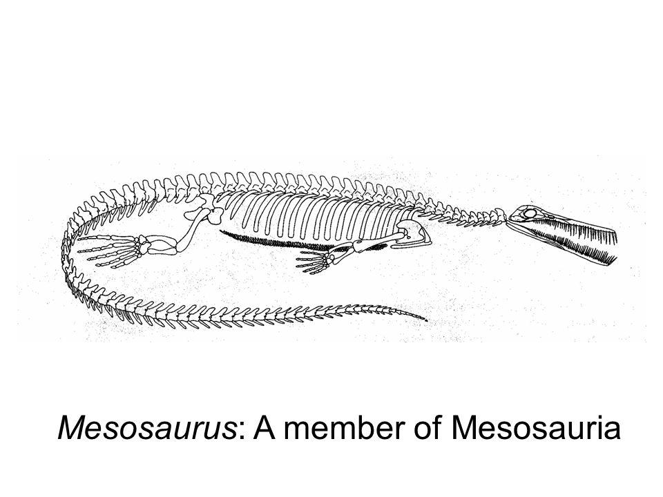 Mesosaurus: A member of Mesosauria