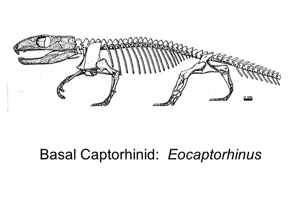 Basal Captorhinid: Eocaptorhinus