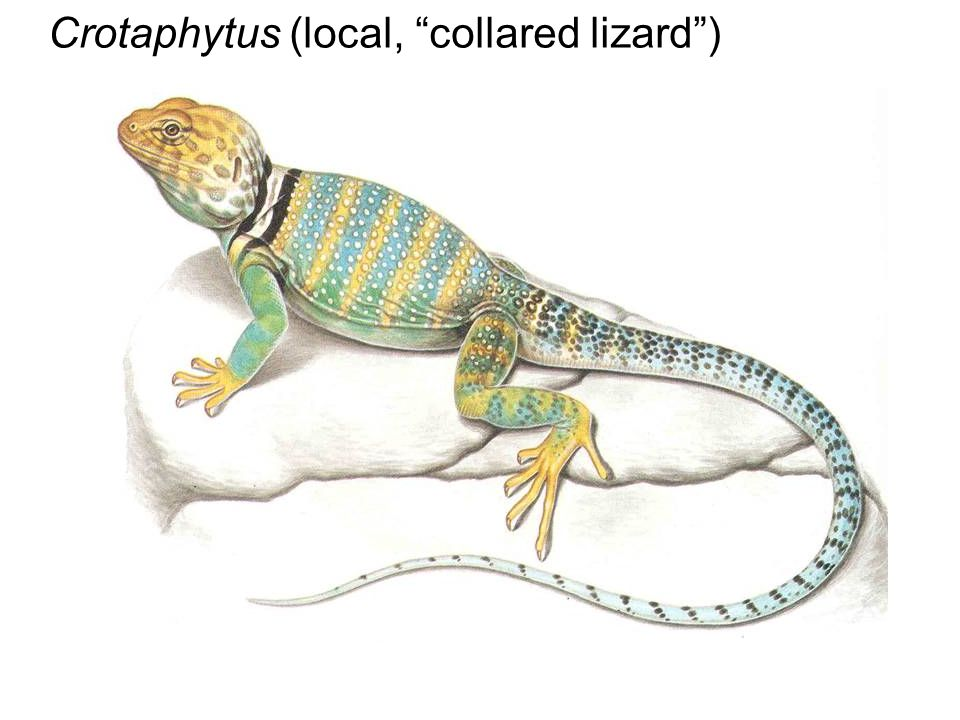 Crotaphytus (local, collared lizard )