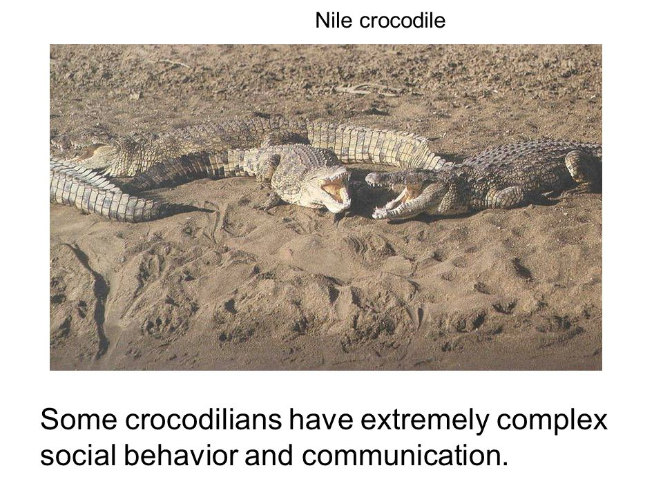 Some crocodilians have extremely complex social behavior and communication. Nile crocodile