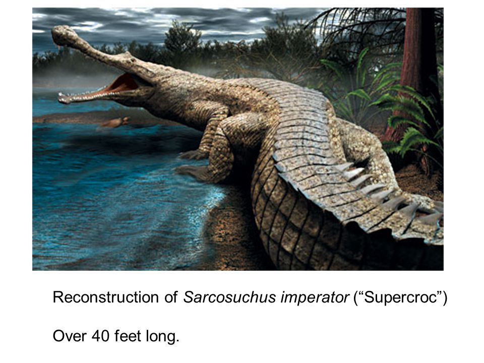 Reconstruction of Sarcosuchus imperator ( Supercroc ) Over 40 feet long.