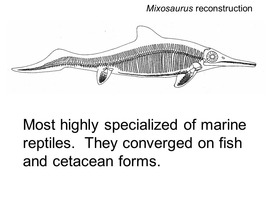 Most highly specialized of marine reptiles. They converged on fish and cetacean forms.