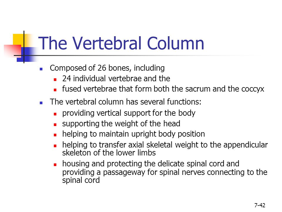 7-42 The Vertebral Column Composed of 26 bones, including 24 individual vertebrae and the fused vertebrae that form both the sacrum and the coccyx The