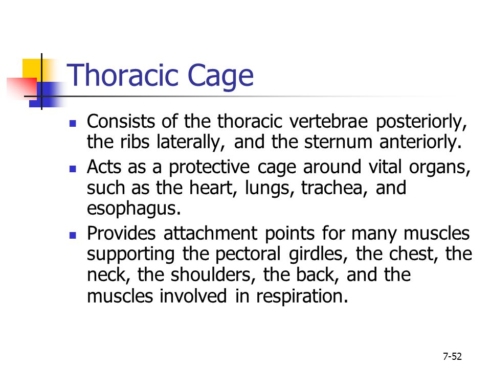7-52 Thoracic Cage Consists of the thoracic vertebrae posteriorly, the ribs laterally, and the sternum anteriorly. Acts as a protective cage around vi