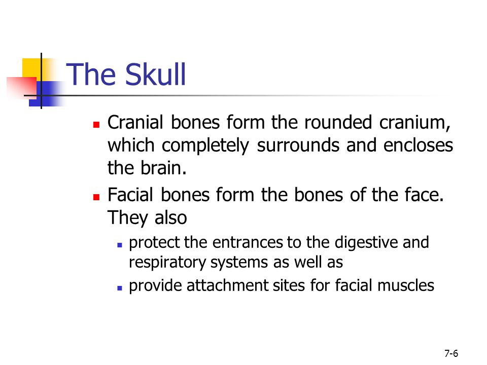 7-6 The Skull Cranial bones form the rounded cranium, which completely surrounds and encloses the brain. Facial bones form the bones of the face. They