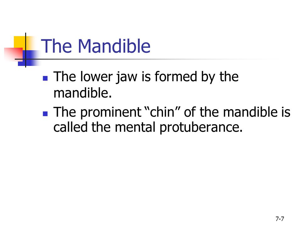 """7-7 The Mandible The lower jaw is formed by the mandible. The prominent """"chin"""" of the mandible is called the mental protuberance."""
