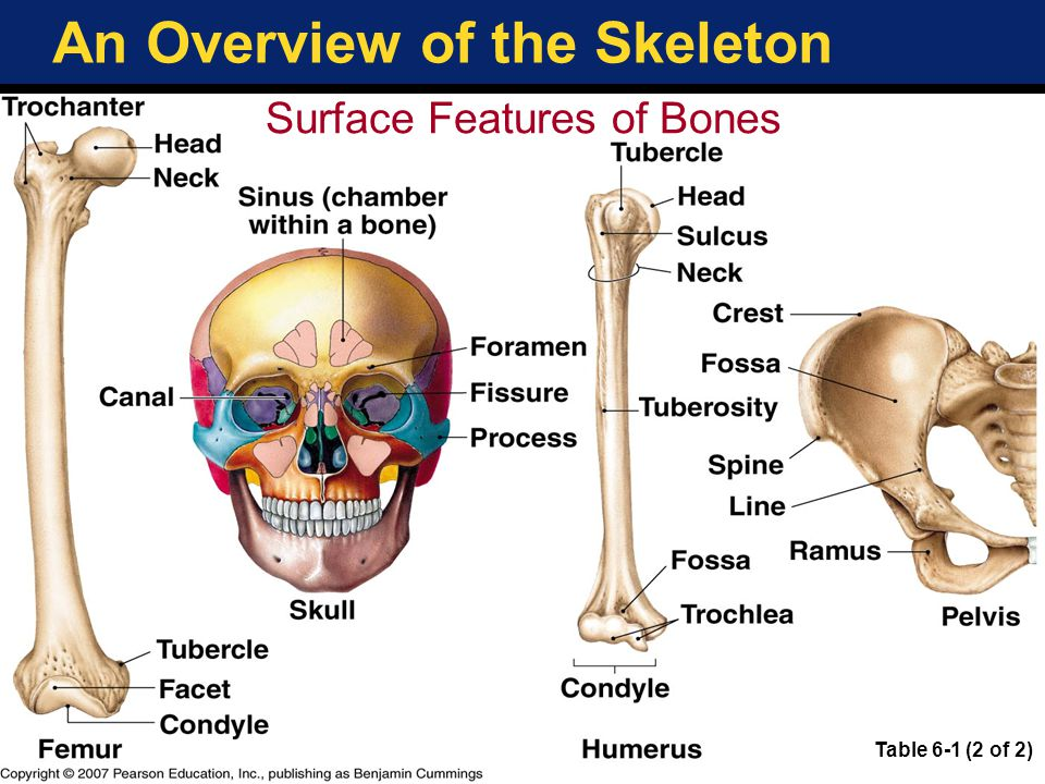 An Overview of the Skeleton Skeletal Divisions Axial skeleton Skull Thoracic cage and sternum –aka the bony thorax' Vertebral column Appendicular skeleton Upper, lower limbs Pectoral girdle (shoulder bones) Pelvic girdle (hips etc.) Copyright © 2007 Pearson Education, Inc., publishing as Benjamin Cummings