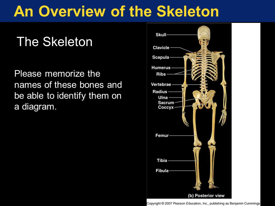 An Overview of the Skeleton The Axial and Appendicular Divisions of the Skeleton.