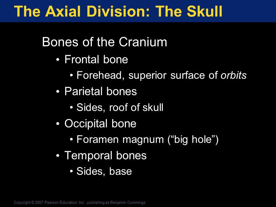 Vertebral Column/Thoracic Cage Vertebral Column (Spine) 26 Bones 7 Cervical vertebrae (C 1 to C 7 ) 12 Thoracic vertebrae (T 1 to T 12 ) 5 Lumbar vertebrae (L 1 to L 5 ) Sacrum Coccyx (tailbone) Copyright © 2007 Pearson Education, Inc., publishing as Benjamin Cummings