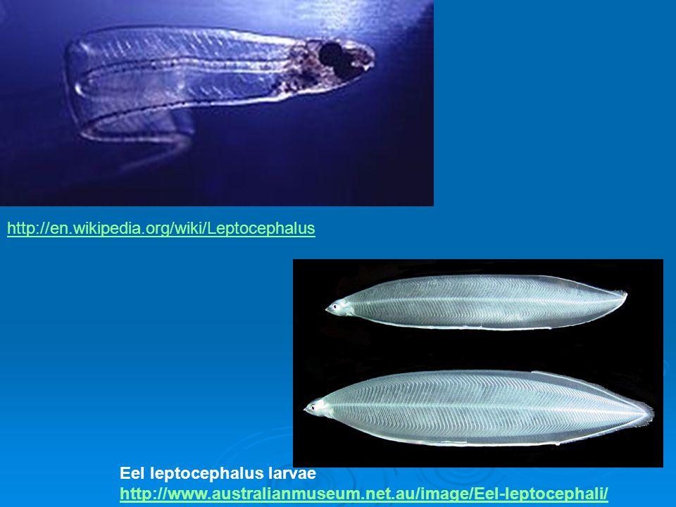 http://en.wikipedia.org/wiki/Leptocephalus Eel leptocephalus larvae http://www.australianmuseum.net.au/image/Eel-leptocephali/