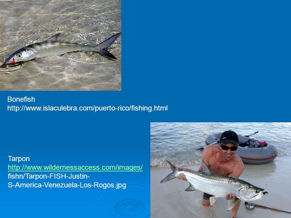 Bonefish http://www.islaculebra.com/puerto-rico/fishing.html Tarpon http://www.wildernessaccess.com/images/ fishn/Tarpon-FISH-Justin- S-America-Venezuela-Los-Rogos.jpg