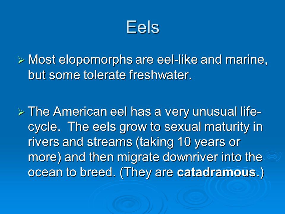 Eels  Most elopomorphs are eel-like and marine, but some tolerate freshwater.