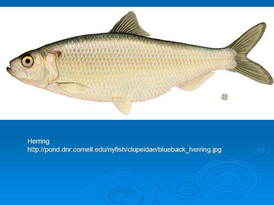 Herring http://pond.dnr.cornell.edu/nyfish/clupeidae/blueback_herring.jpg