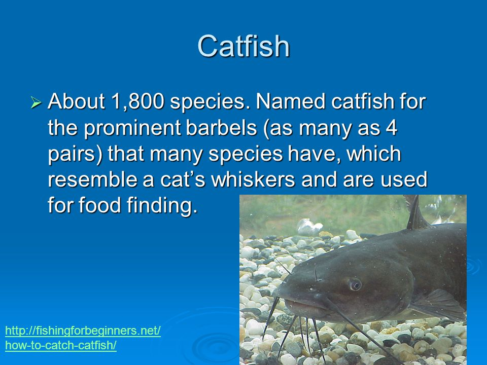 Catfish  About 1,800 species.