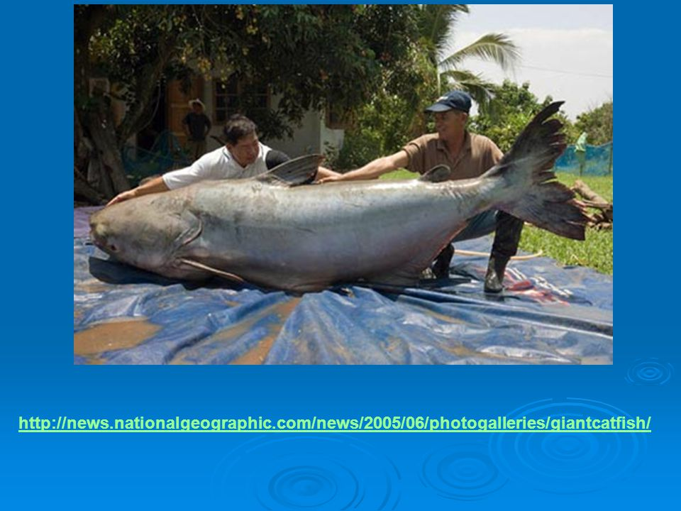http://news.nationalgeographic.com/news/2005/06/photogalleries/giantcatfish/