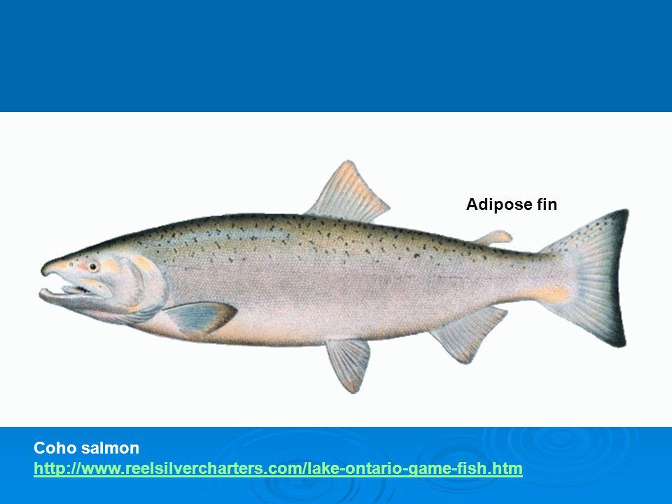 Adipose fin Coho salmon http://www.reelsilvercharters.com/lake-ontario-game-fish.htm