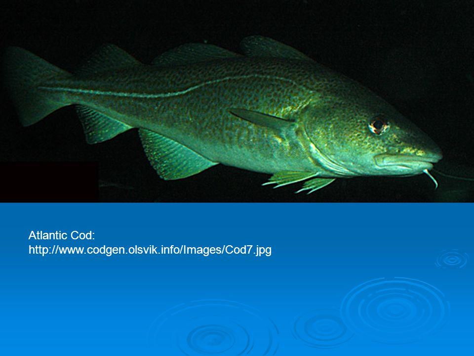 Atlantic Cod: http://www.codgen.olsvik.info/Images/Cod7.jpg