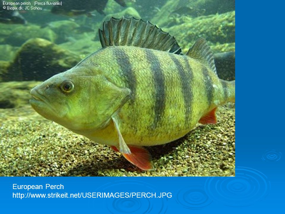 European Perch http://www.strikeit.net/USERIMAGES/PERCH.JPG