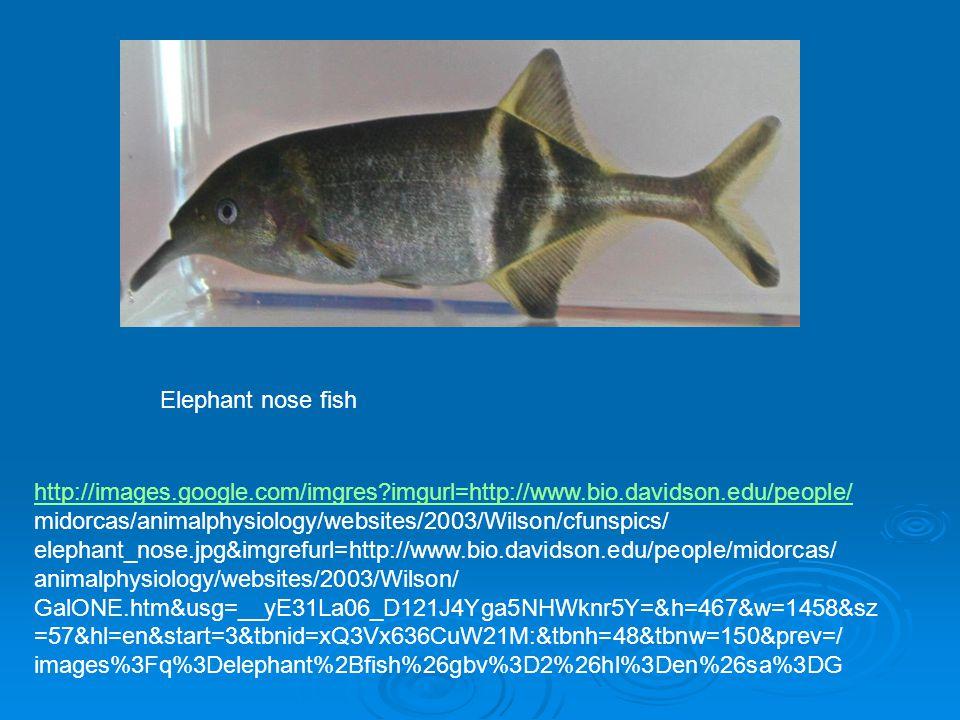 http://images.google.com/imgres imgurl=http://www.bio.davidson.edu/people/ midorcas/animalphysiology/websites/2003/Wilson/cfunspics/ elephant_nose.jpg&imgrefurl=http://www.bio.davidson.edu/people/midorcas/ animalphysiology/websites/2003/Wilson/ GalONE.htm&usg=__yE31La06_D121J4Yga5NHWknr5Y=&h=467&w=1458&sz =57&hl=en&start=3&tbnid=xQ3Vx636CuW21M:&tbnh=48&tbnw=150&prev=/ images%3Fq%3Delephant%2Bfish%26gbv%3D2%26hl%3Den%26sa%3DG Elephant nose fish
