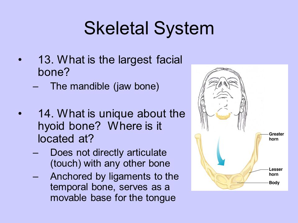 Skeletal System 13. What is the largest facial bone? –The mandible (jaw bone) 14. What is unique about the hyoid bone? Where is it located at? –Does n