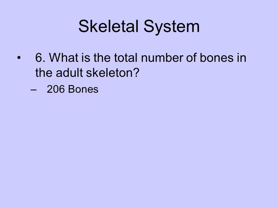 Skeletal System 6. What is the total number of bones in the adult skeleton? –206 Bones