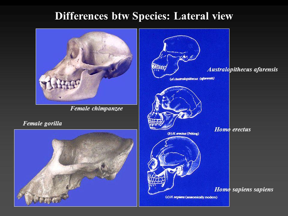 Differences btw Species: Lateral view Australopithecus afarensis Homo erectus Homo sapiens sapiens Female chimpanzee Female gorilla