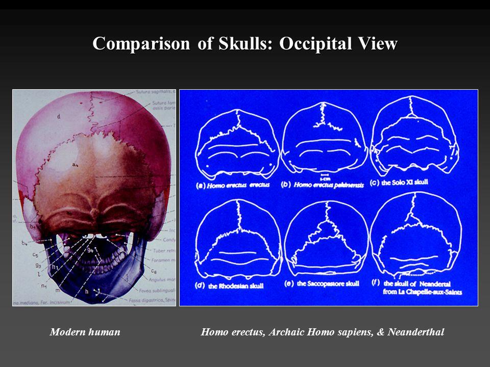 Comparison of Skulls: Occipital View Modern humanHomo erectus, Archaic Homo sapiens, & Neanderthal